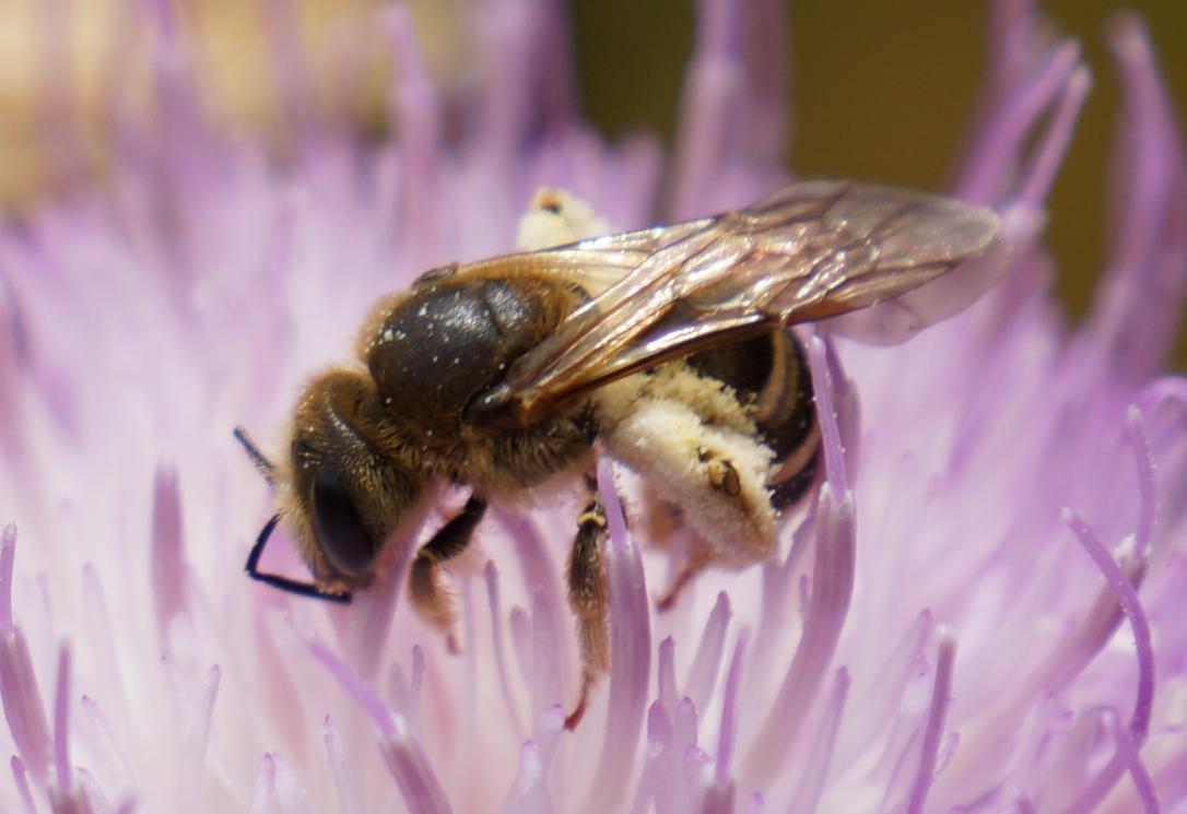 abeja original